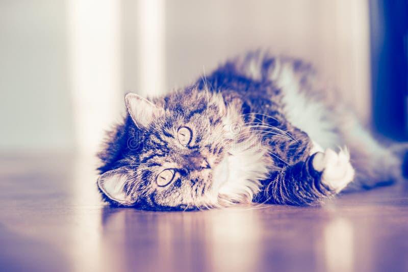 Pluizige kat die op de parketvloer liggen en de camera bekijken stock afbeelding