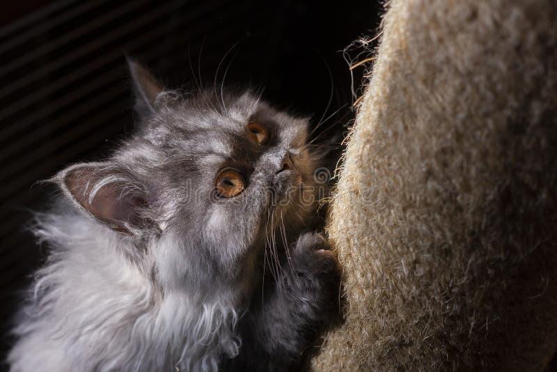 Pluizige kat, leuk katje, pussy kat, kattenjager, brutale kat stock foto's