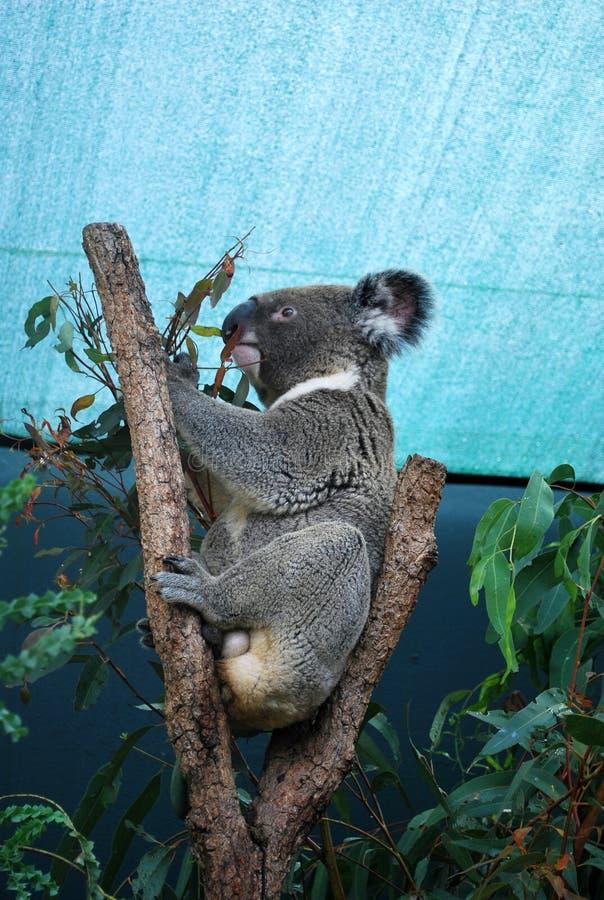 Pluizige Koala die eucalyptus op een boom eten onder het dak royalty-vrije stock foto's
