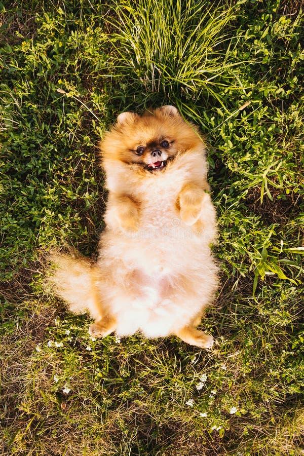 Pluizige leuke Spitz van hondpomeranian ligt op zijn rug op het gras De tijd van de Enjpyzomer royalty-vrije stock afbeeldingen