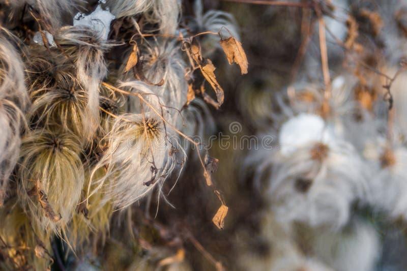 Pluizige paardebloem Macro de installatie pluizige paardebloem van de Fotoaard Bloeiende witte paardebloembloem op de achtergrond royalty-vrije stock afbeelding