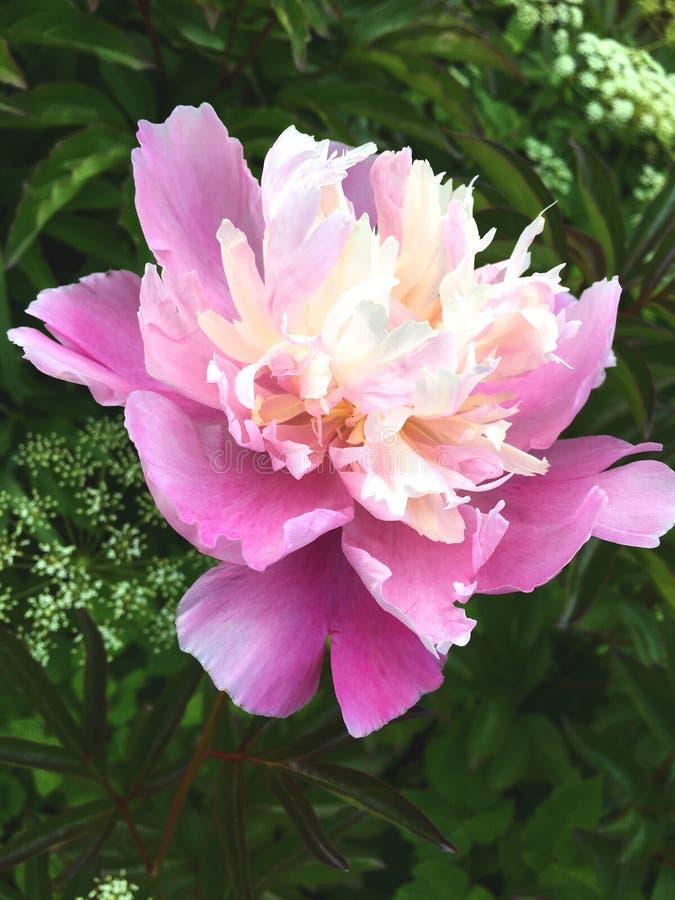 Pluizige roze pioenenbloemen bij een donkergroene natuurlijke achtergrond stock afbeeldingen