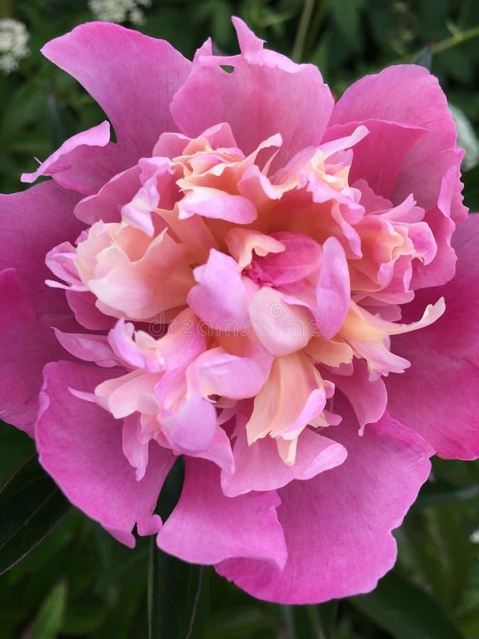 Pluizige roze pioenenbloemen bij een donkergroene natuurlijke achtergrond stock afbeelding