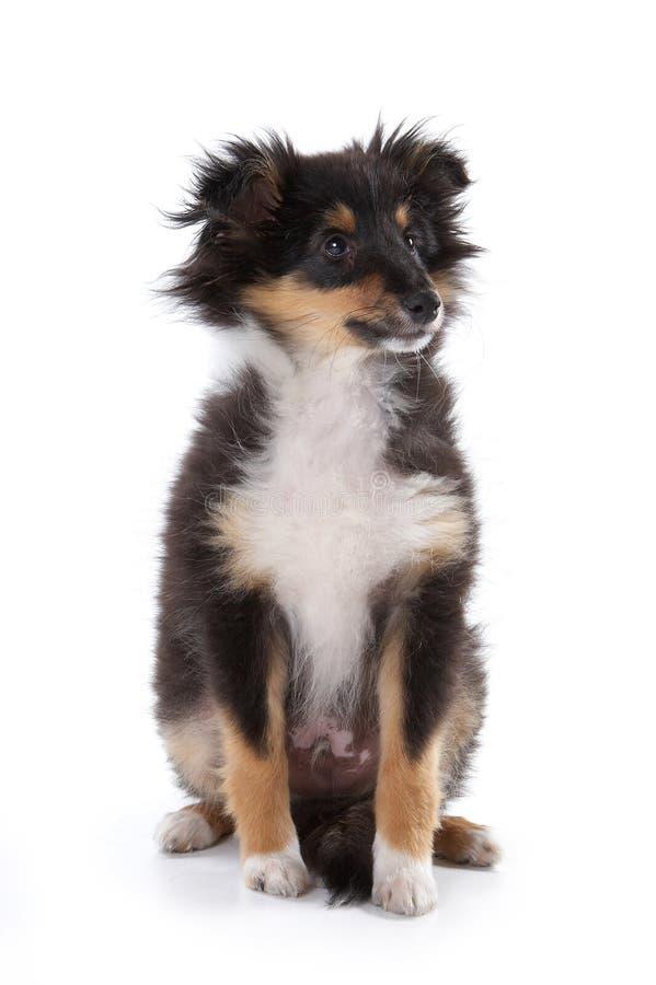 Pluizige Sheltie-puppyzitting op wit royalty-vrije stock foto