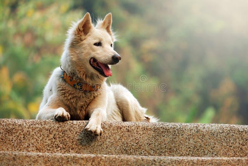 Pluizige witte hond royalty-vrije stock afbeelding