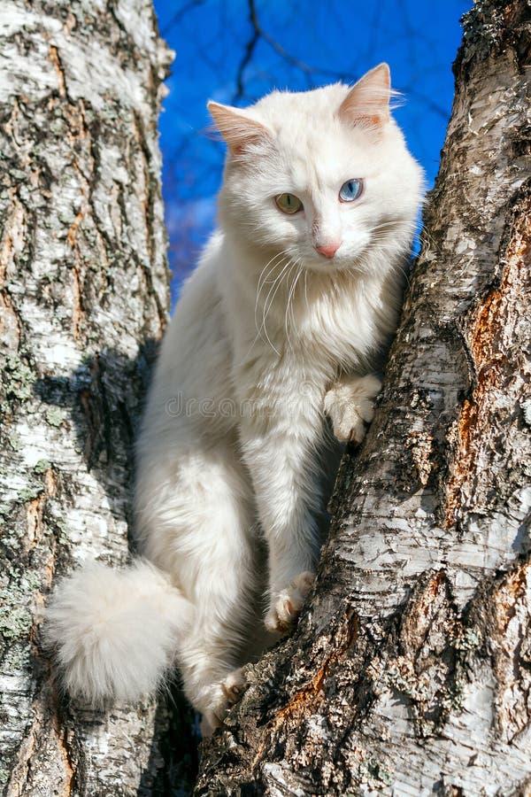 Pluizige witte kat met verschillende ogen royalty-vrije stock fotografie