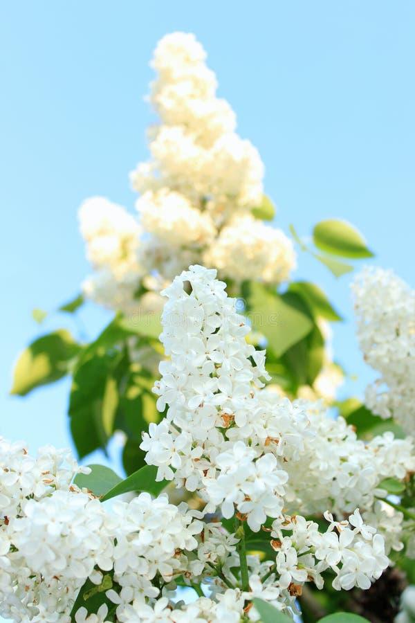 pluizige witte lilac boomtak met stock afbeelding
