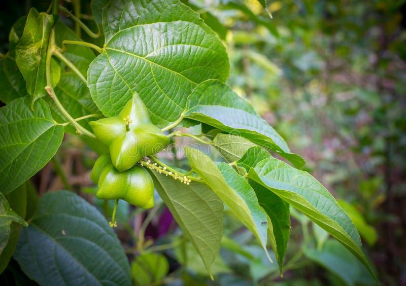 Plukenetia volubilis或印加人坚果 库存照片