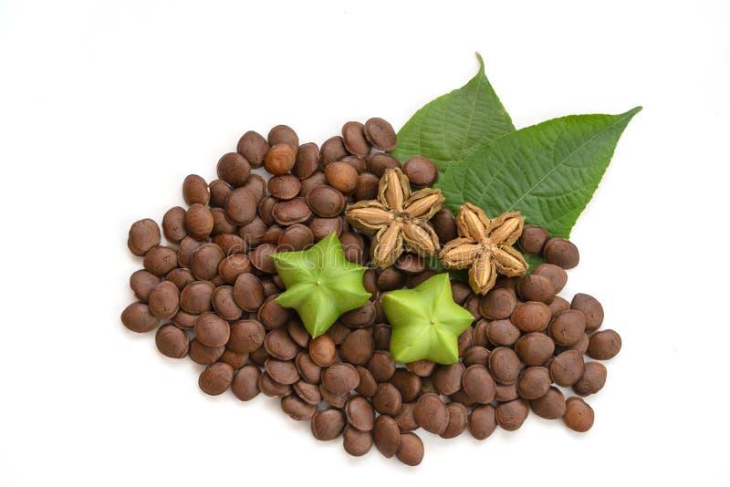 Plukenetia-volubilis, sacha Erdnuss oder sacha inchi (frisch, getrocknet und Samen) auf weißem Hintergrund lizenzfreies stockfoto