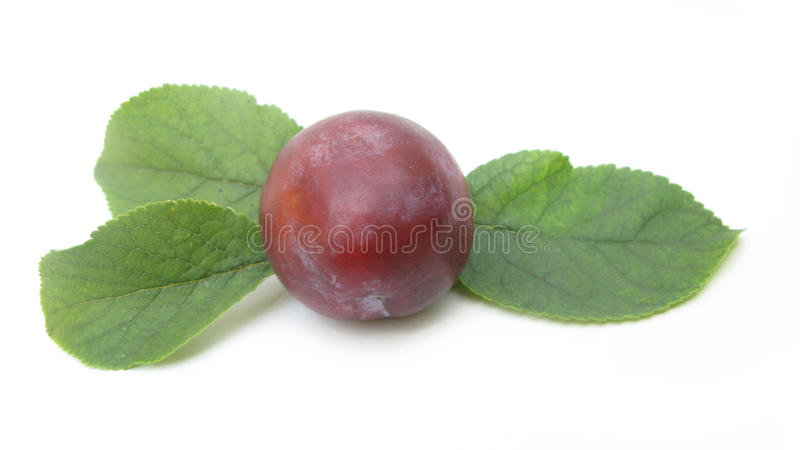 Plum. A plum or gage is a stone fruit tree in the genus Prunus, subgenus Prunus. The subgenus is distinguished from other subgenera (peaches, cherries, bird stock photo