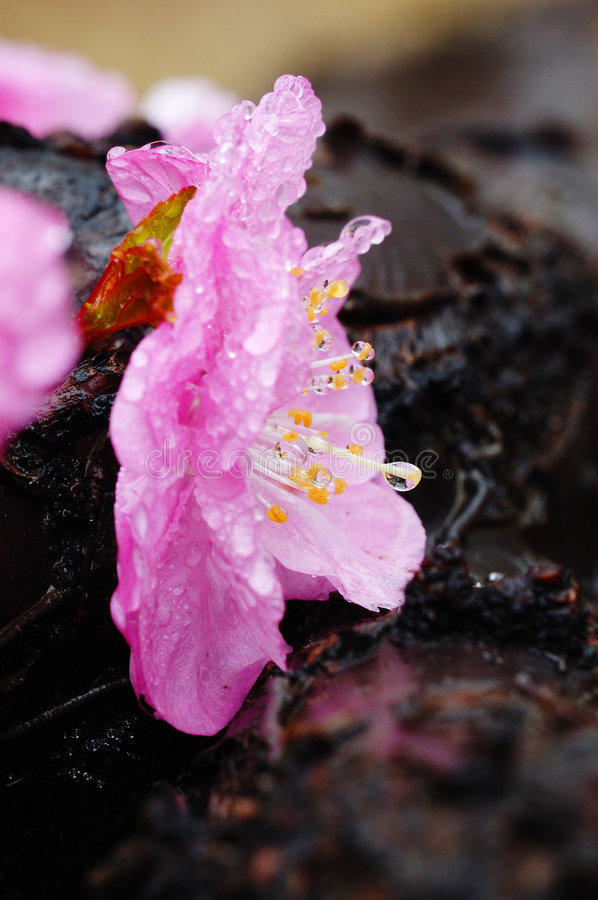 Download Plum with bead stock photo. Image of blooming, natural - 5792310