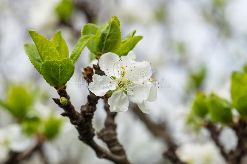Plum beautiful flower with white petals royalty free stock images