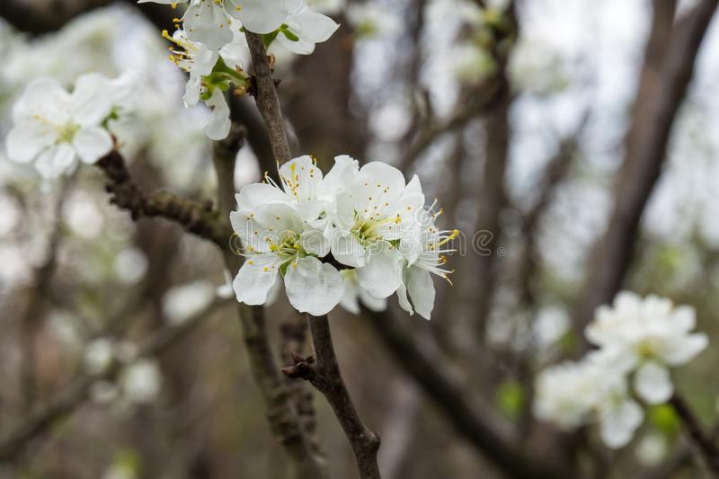 Plum beautiful flowers with white petals. stock image