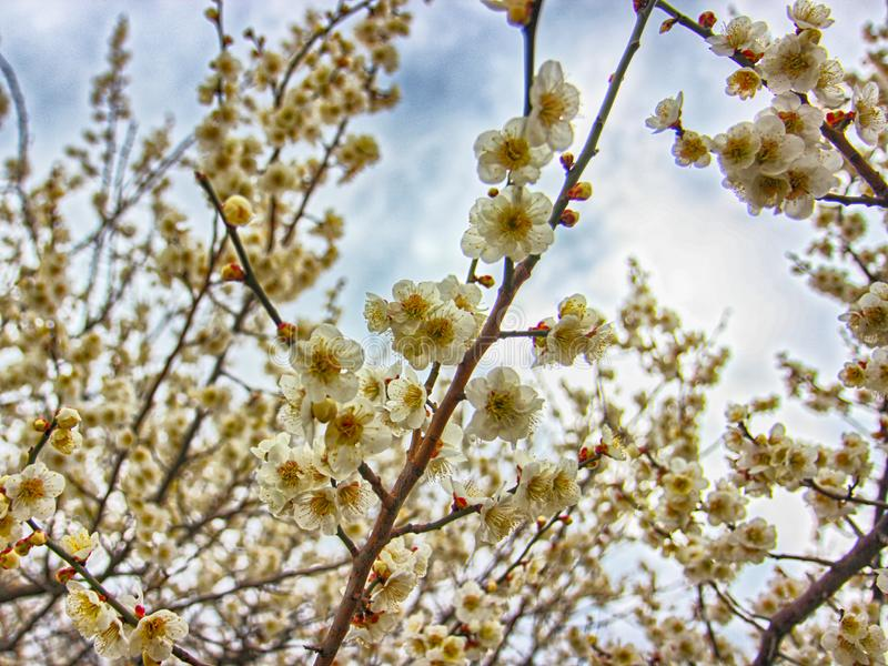 Plum Blooming in de Lente, Haeundae, Busan, Zuid-Korea, Azië stock afbeeldingen