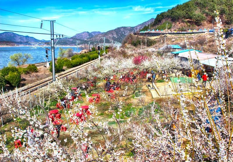 Plum Blooming na vila de Wondong Maehwa, Yangsan, Coreia do Sul, Ásia imagens de stock
