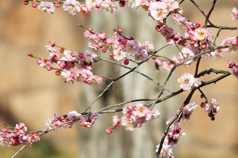 Plum blossom(Armeniaca mume Sieb.). Plum blossom is best planted in courtyard, lawn, low hills and hills. It can be planted alone, in clusters and in royalty free stock photography
