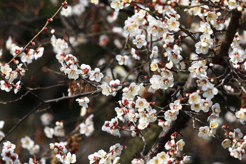 Plum blossom(Armeniaca mume Sieb.). Plum blossom is best planted in courtyard, lawn, low hills and hills. It can be planted alone, in clusters and in royalty free stock photo