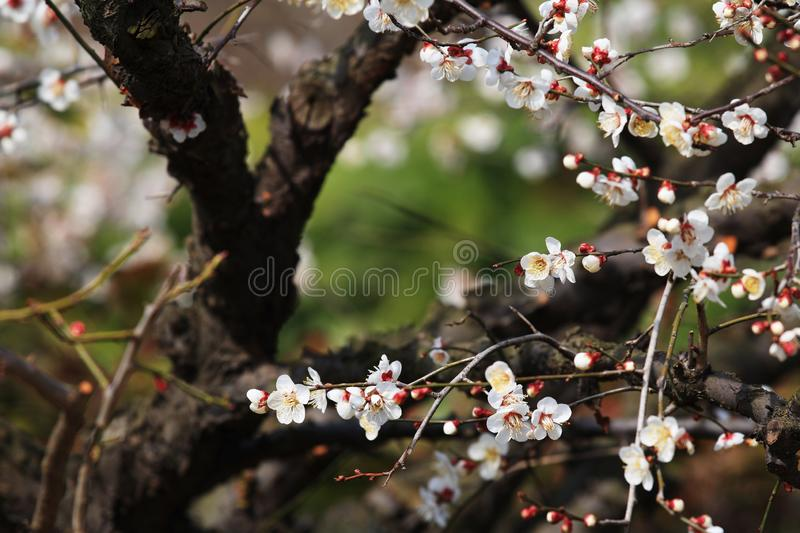 Plum blossom(Armeniaca mume Sieb.). Plum blossom is best planted in courtyard, lawn, low hills and hills. It can be planted alone, in clusters and in stock photos
