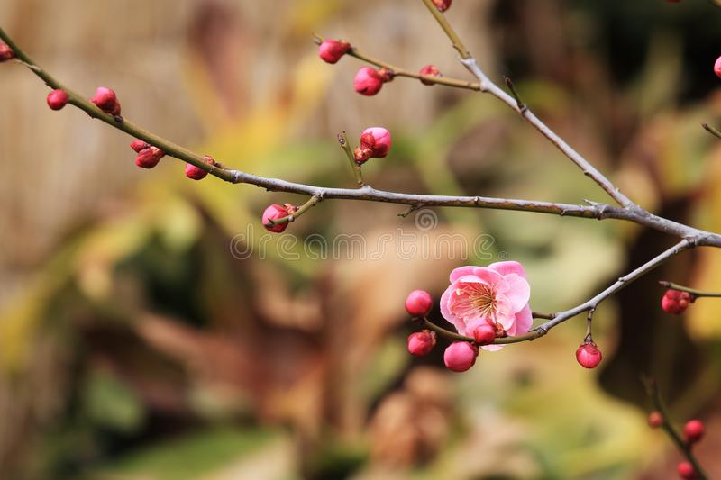 Plum blossom(Armeniaca mumef.rubriflora T. Y. Chen). Plum is a traditional Chinese traditional flower and fruit, which has been applied for more than stock photos