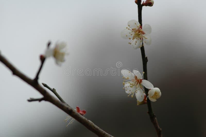 Plum Blossom photographie stock