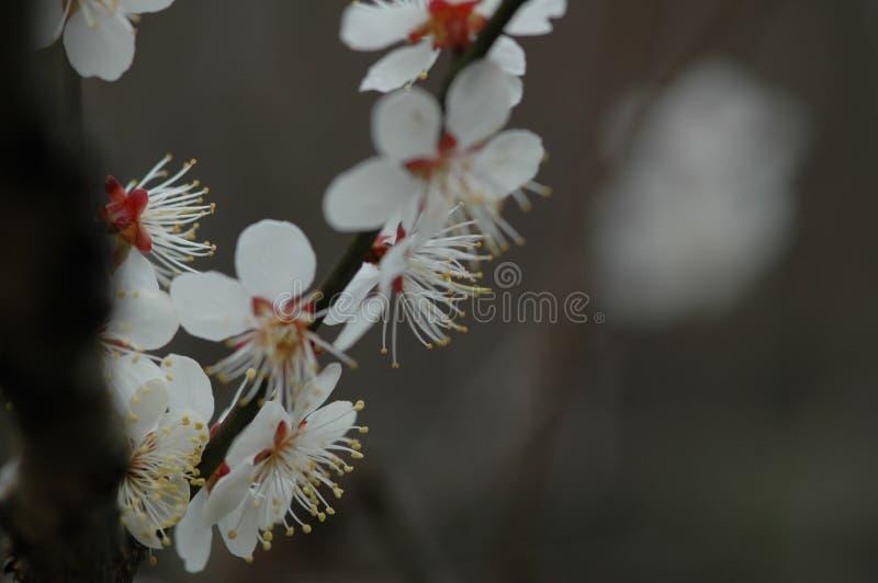 Plum Blossom photo stock