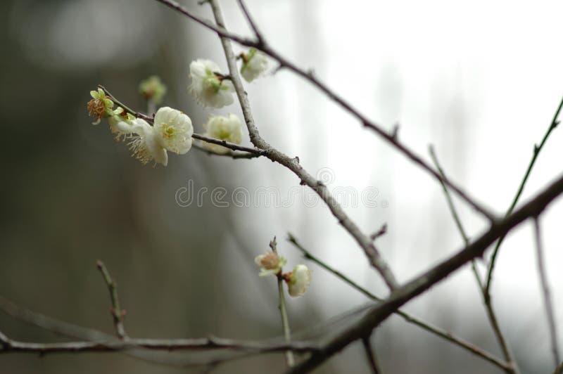 Plum Blossom images libres de droits