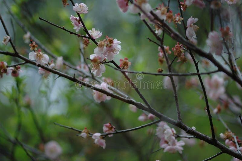 Plum Blossom photos stock
