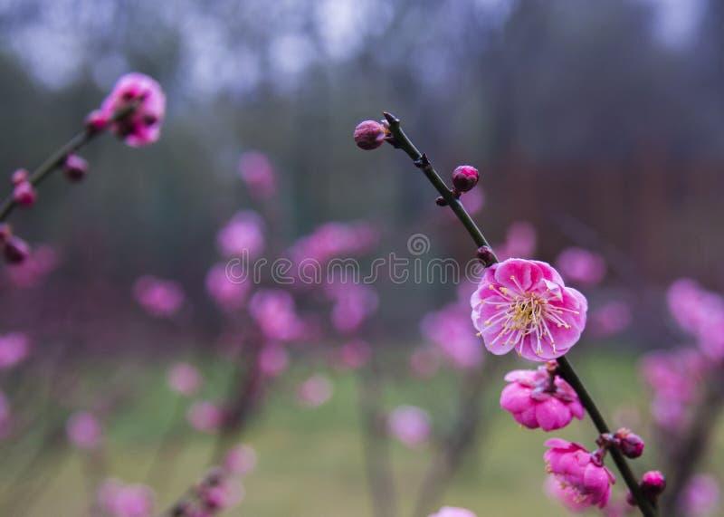 Plum Blossom royaltyfri fotografi