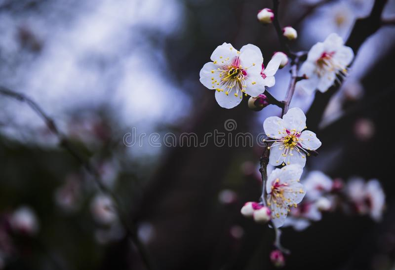 Plum Blossom arkivbild
