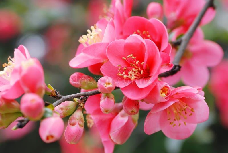 Plum blossom. Close up of a plum blossom flower