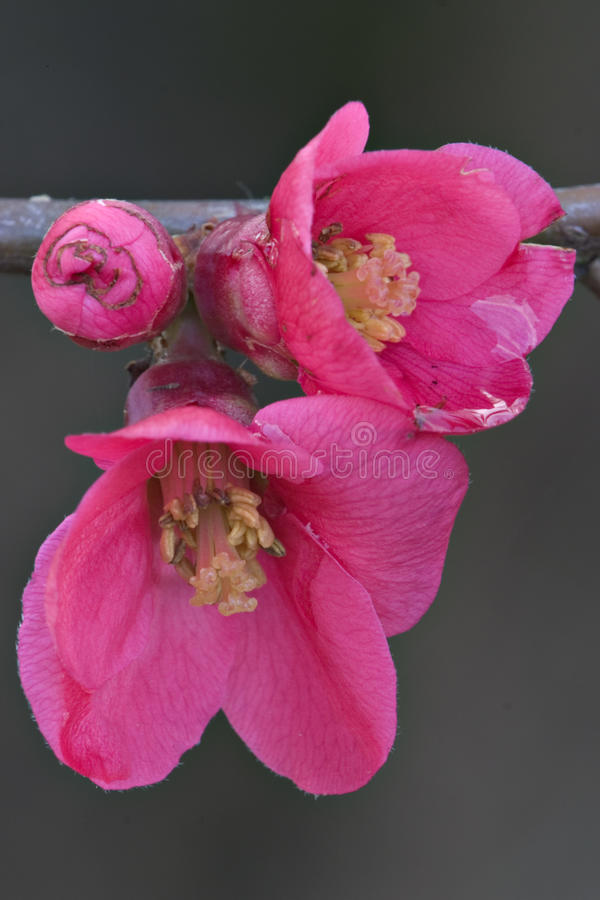 Plum in blossom stock photography