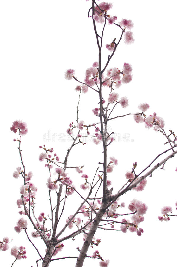 Free Plum Blossom Royalty Free Stock Photos - 20474398