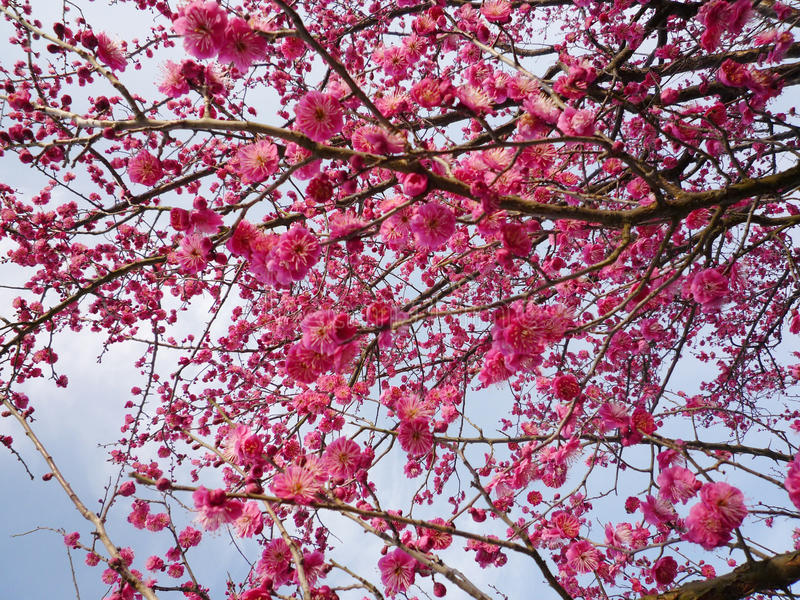 Download Plum Blossom stock image. Image of nature, spring, beauty - 22514563