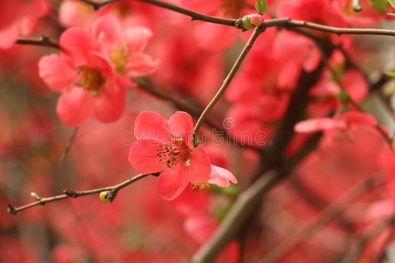 Plum Blossom images stock