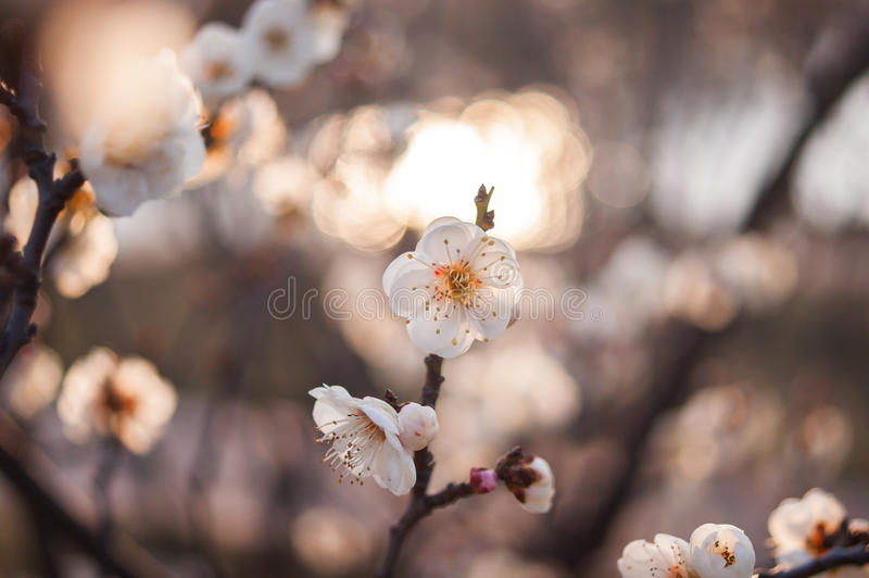 Plum Blossom fotos de stock royalty free