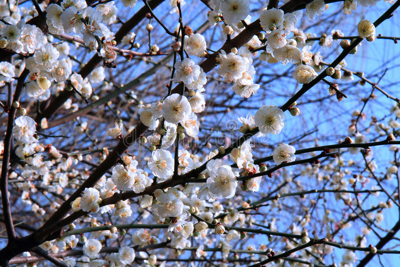 Download Plum Blossom stock photo. Image of buds, flora, blue, flower - 7181710