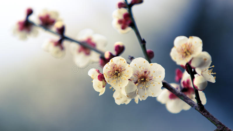 Plum Blossom stock afbeeldingen