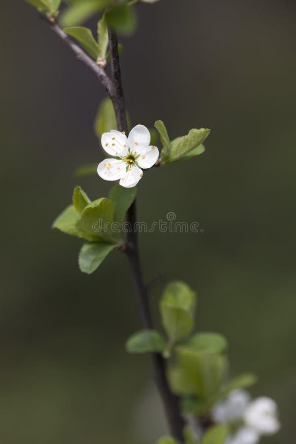 Plum Blossom fotografering för bildbyråer