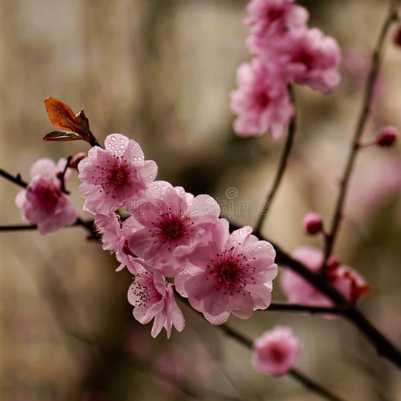 Plum Blossom stockfotos