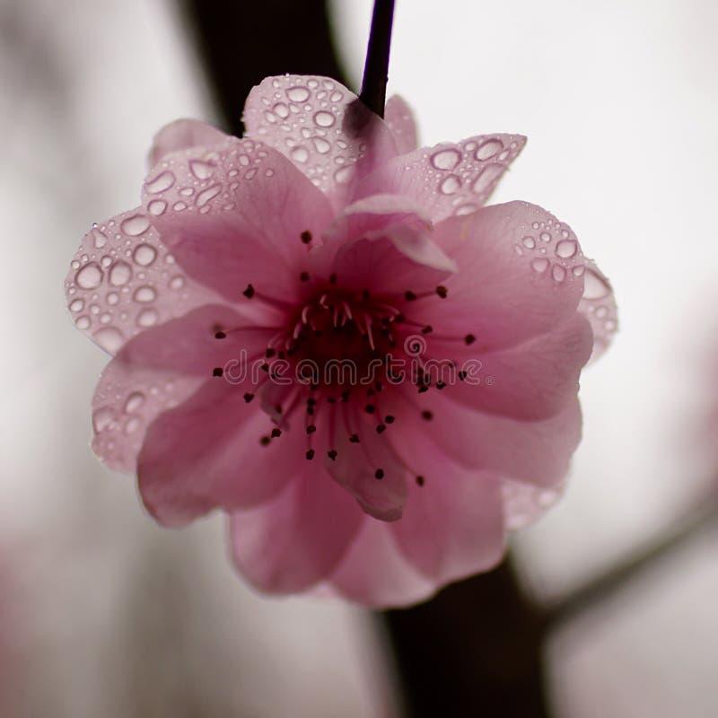 Plum Blossom lizenzfreies stockbild