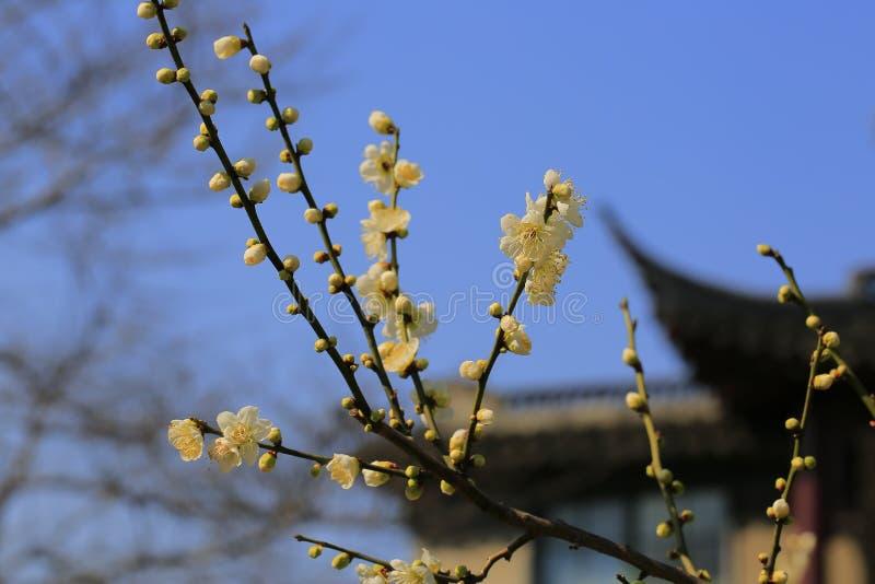 Plum Blossom immagini stock libere da diritti