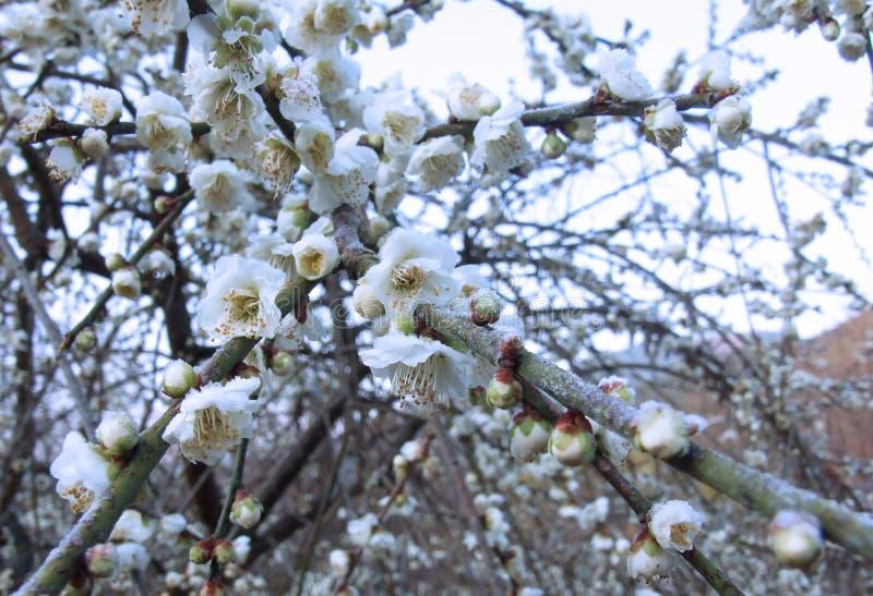 Plum Blossom images stock