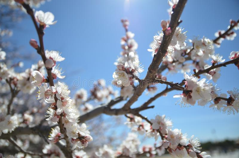 Plum blossom from the bitter cold stock photos
