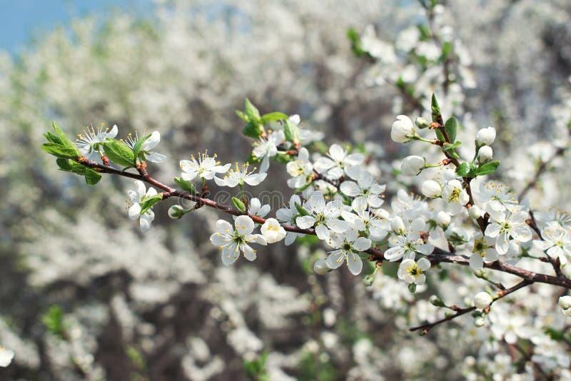 Plum Blossom Branch i vår royaltyfria foton