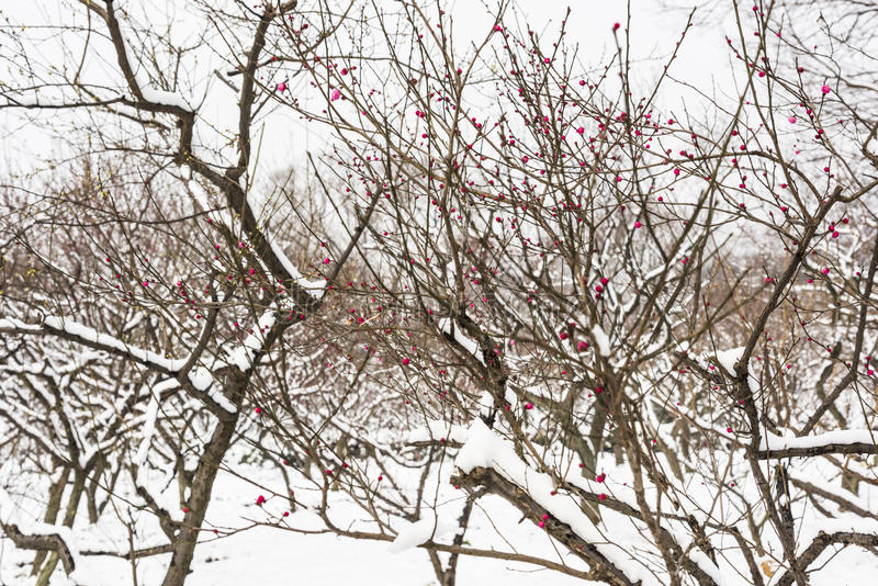 The Plum Blossom buds are getting ready to burst royalty free stock photos