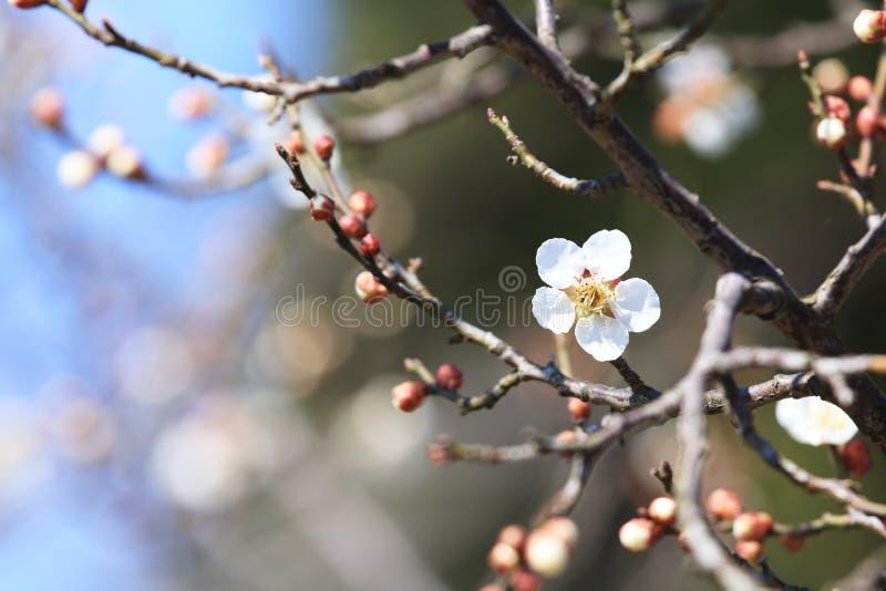 Plum Blossom fotografía de archivo