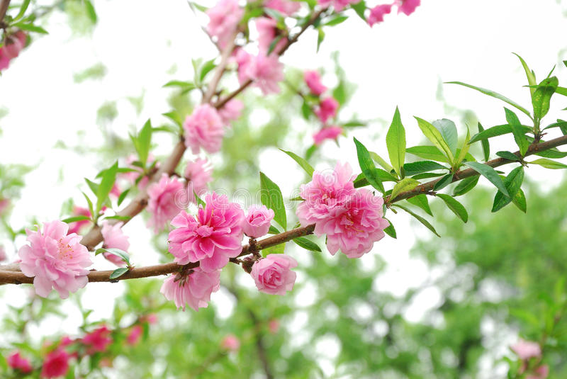 The plum blossom in full bloom stock photo