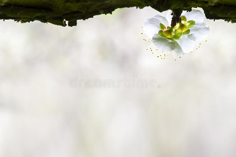 Plum Blossom Isolated op Witte Achtergrond royalty-vrije stock foto's