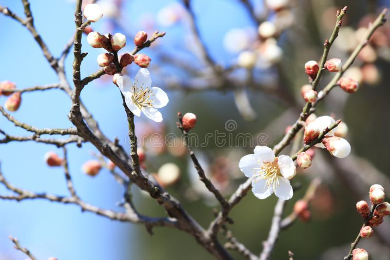 Plum blossom. Originated in southern China and has been cultivated for more than 3,000 years. There are many varieties of  for ornamental and fruit trees.  is stock images