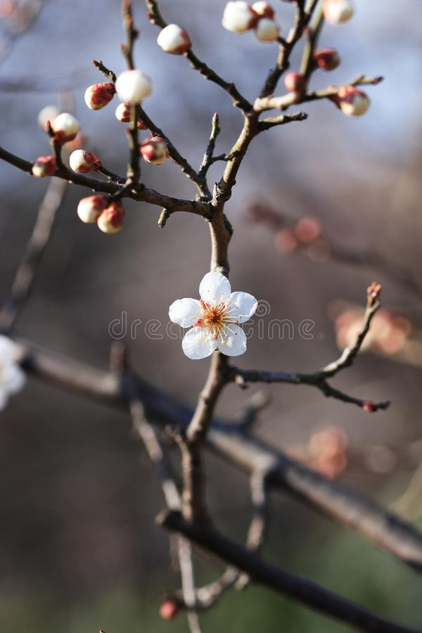 Plum blossom. Originated in southern China and has been cultivated for more than 3,000 years. There are many varieties of  for ornamental and fruit trees.  is stock photography